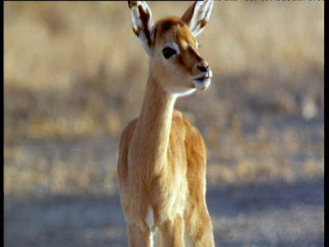 young kob fawn shakes its head and walks on savanna - babyhood stock videos & royalty-free footage
