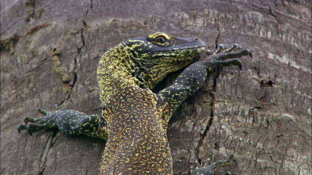 young komodo dragon hanging on tree - young animal stock videos & royalty-free footage