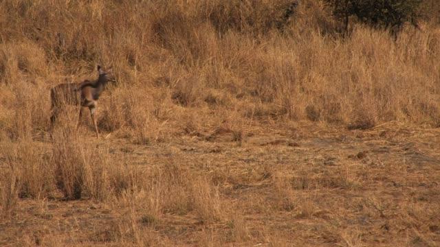 vídeos y material grabado en eventos de stock de a young kudu walks across a field of dry grass. available in hd. - zoología
