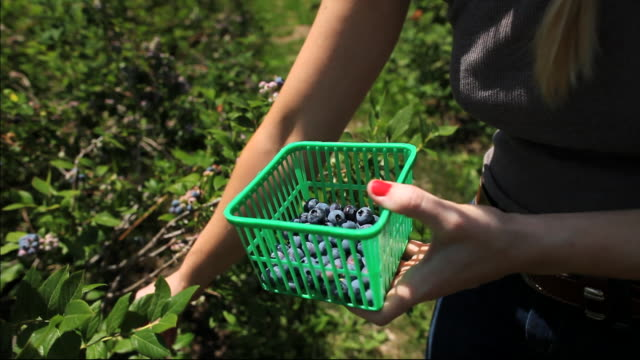 cu tu young lady picking blueberries / milton, ontario, canada - blueberry stock videos & royalty-free footage