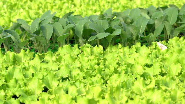 vídeos de stock, filmes e b-roll de hd dolly: jovem de folhas de plantas de legumes - processo vegetal
