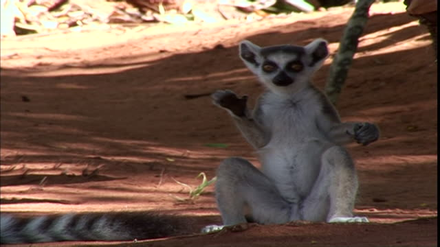 MS  CU TS  Young lemur sitting in yoga position runs over to adult and jumps on its back / Madagascar