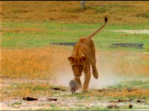 vídeos de stock, filmes e b-roll de a young lion chases a banded mongoose over the african savanna. - animais caçando