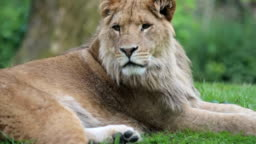 Young lion Close up