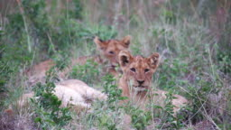 Young lion cubs lying in the grass