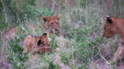 Young lion cubs playing in the grass