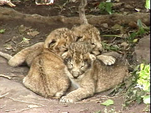 young lion cubs snuggled together - small group of animals stock videos & royalty-free footage
