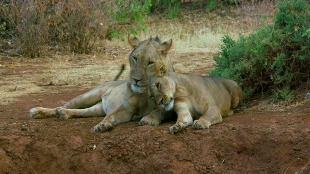 vidéos et rushes de young lion & lioness close samburu  kenya  africa - lion