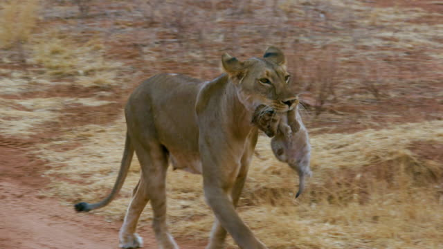 young lioness moving cub samburu  kenya  africa - raubtier stock-videos und b-roll-filmmaterial