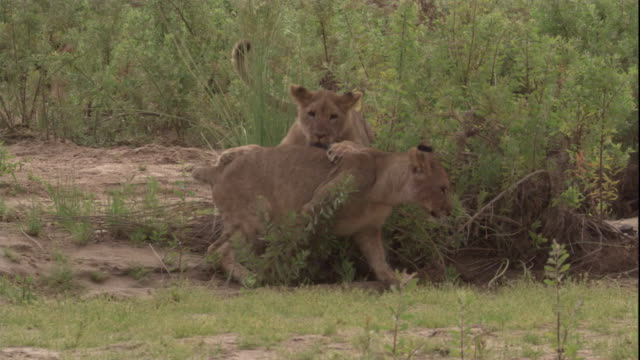 young lions play, skeleton coast, namibia. available in hd. - adolescence stock videos & royalty-free footage