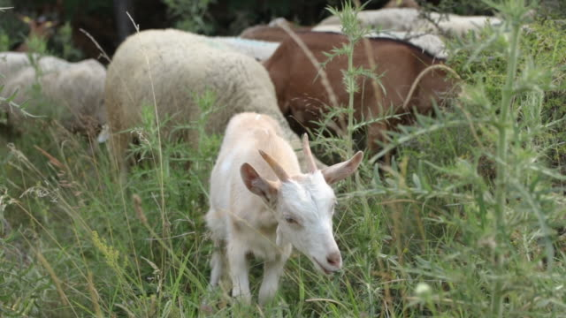 young little white goat grazing at meadow and looking at camera. funny doeling standing out of crowd, grazing an winking at camera - grazing stock videos & royalty-free footage