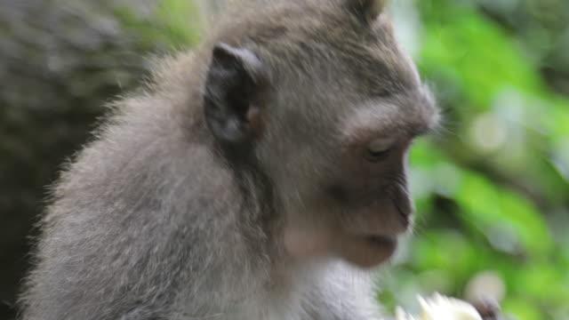 vídeos de stock e filmes b-roll de young macaque eating - mastigar