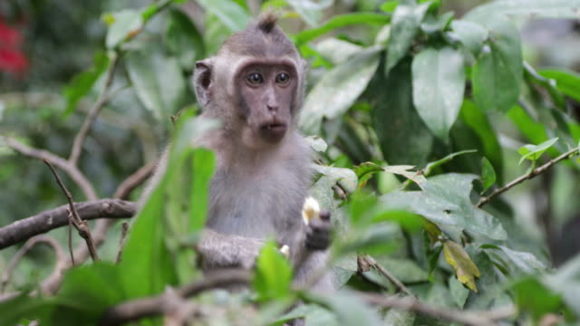 young macaque eating - ubud stock videos & royalty-free footage