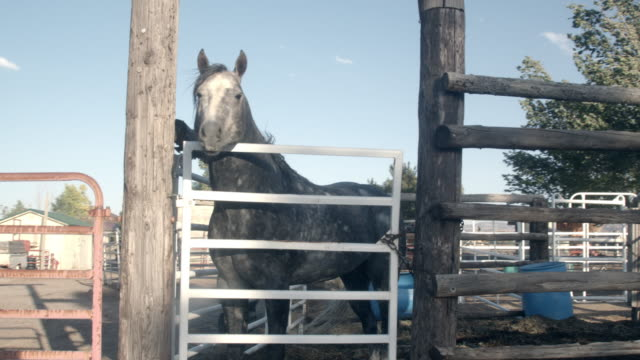 a young majestic healthy grey spotted thoroughbred quarter horse stallion stud looking through a gate at mares he wishes to mate with - stallion stock videos & royalty-free footage