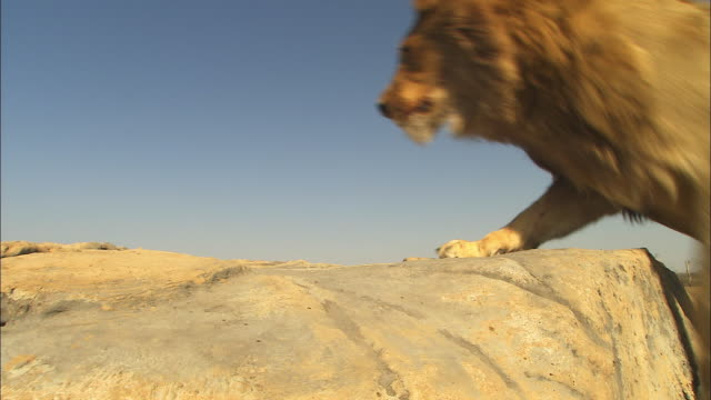 MS young male African lion jumps up past camera into rock and looks around