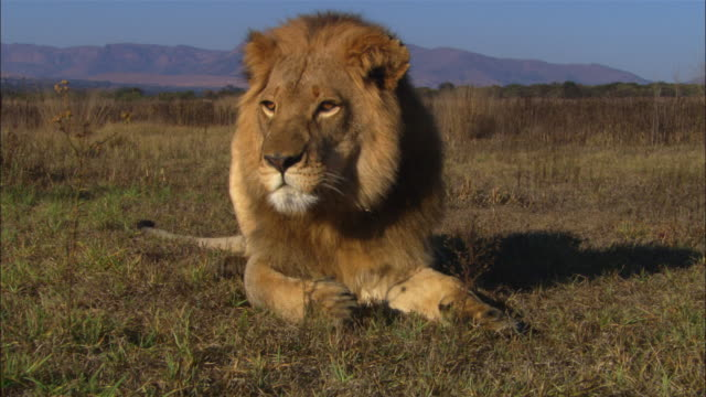 CU young male African lion lying on grass grooms paw looks around then walks away