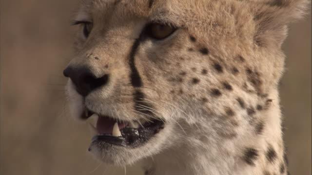 a young male cheetah calls on the savannah. available in hd. - singing stock videos & royalty-free footage
