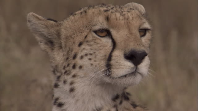 "vídeos de stock e filmes b-roll de a young male cheetah looks around on the savannah. available in hd. - ""bbc natural history"""