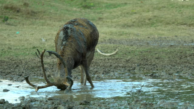 young male deer with strong antlers,drinking water - schlamm stock-videos und b-roll-filmmaterial