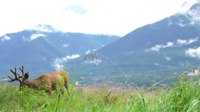 Young male elk (wapiti) grazes in mountain meadow, after rain