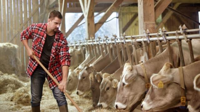 junge männliche landwirt pitching sein vieh heu in der scheune - rind stock-videos und b-roll-filmmaterial