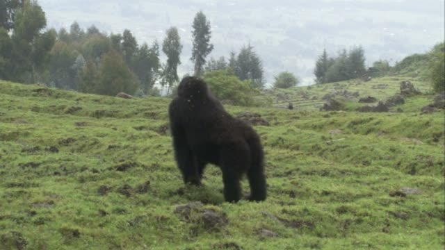 A young male gorilla pounds on the ground and looks around. Available in HD.