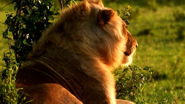 vidéos et rushes de un jeune lion et lionne mâle se reposant dans masai mara - lion