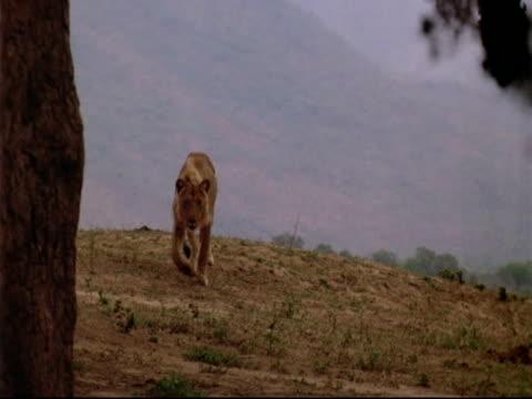 MS Young male lion runs to camera, stops at carcass beneath tree, Mana Pools, Zimbabwe