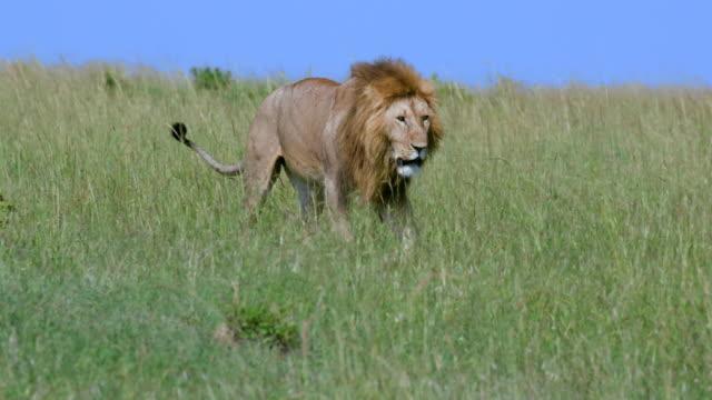 young male lion walking in long grass, maasai mara, kenya, africa - ライオン点の映像素材/bロール
