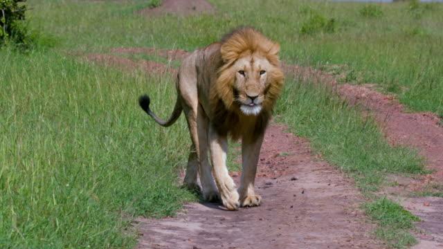 vídeos de stock e filmes b-roll de young male lion walking on track, maasai mara, kenya, africa - áudio disponível online