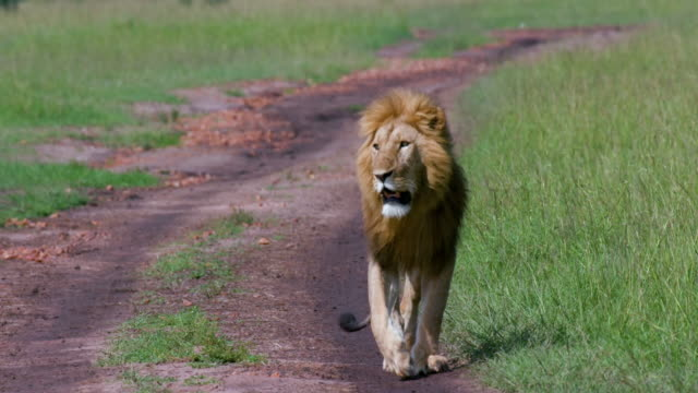 young male lion walking on track, maasai mara, kenya, africa - male animal stock videos & royalty-free footage