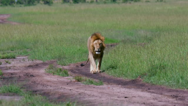 vidéos et rushes de young male lion walking on track, maasai mara, kenya, africa - lion