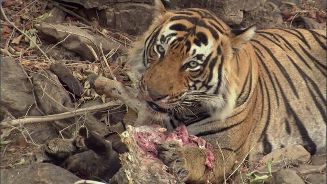 vídeos y material grabado en eventos de stock de a young male tiger eating sambar deer killed by a female tiger - medium shot - medium group of animals