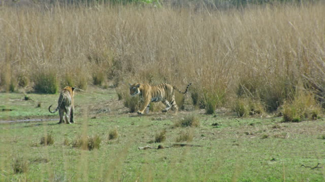 young male tiger moving into bushes - prairie stock videos & royalty-free footage