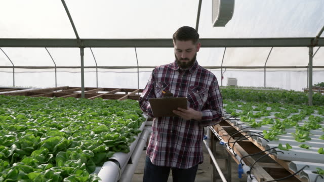 TS MS Young man checking vegetables on a hydroponic farm
