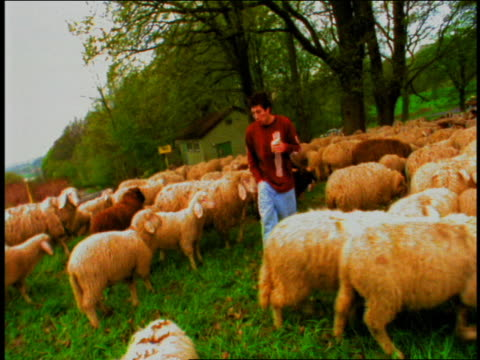 young man eating and walking through herd of sheep towards camera / munich, germany - erbivoro video stock e b–roll