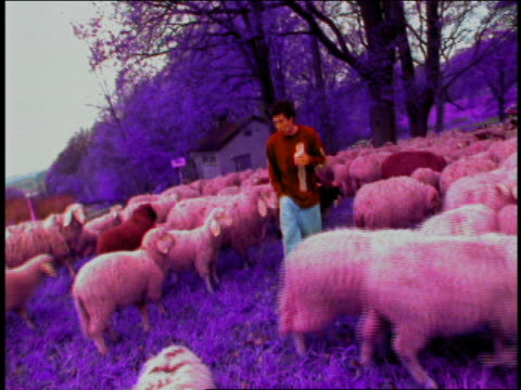 young man eating and walking through herd of sheep towards camera / munich, germany - only mid adult men stock videos & royalty-free footage