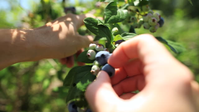 cu young man picking blueberries / milton, ontario, canada - blueberry stock videos and b-roll footage