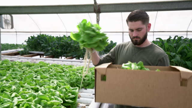 MS Young man picking lettuce to sell