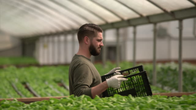 MS Young man picking vegetables on a hydroponic farm