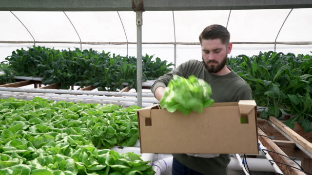 ms ts young man picking vegetables to sell - control stock videos & royalty-free footage