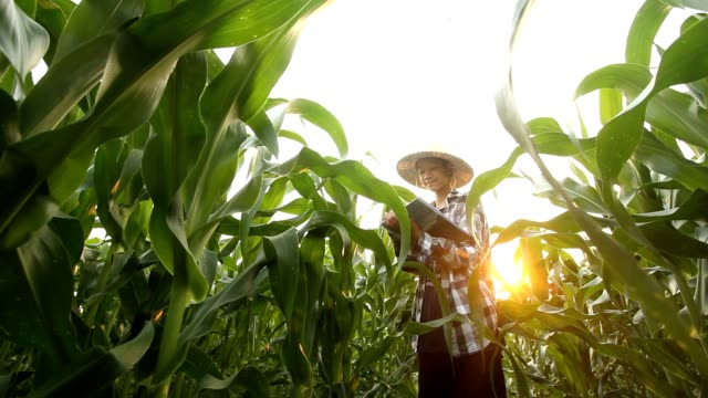 Young man working at corn crop fields