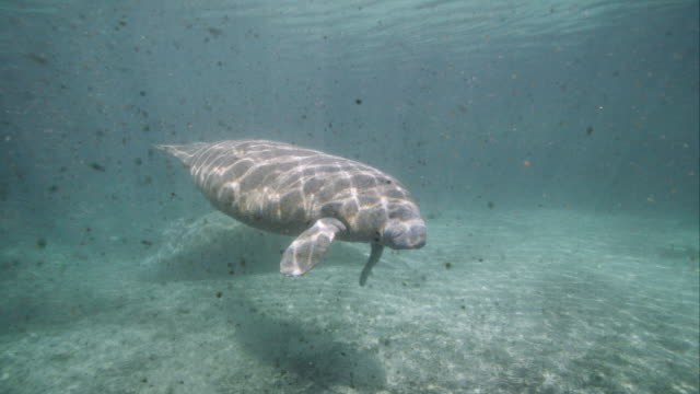 Young manatee