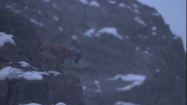 a young markhor walks along a narrow mountainside ledge. available in hd. - goat stock videos & royalty-free footage