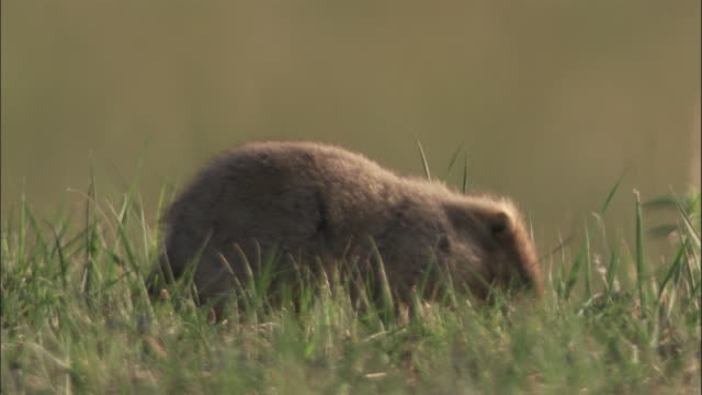 young marmot forages on steppe, mongolian steppe - independent mongolia stock videos & royalty-free footage