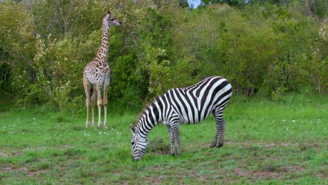 young masai giraffe & burchell's zebra grazing maasai mara  kenya  africa - 2匹点の映像素材/bロール
