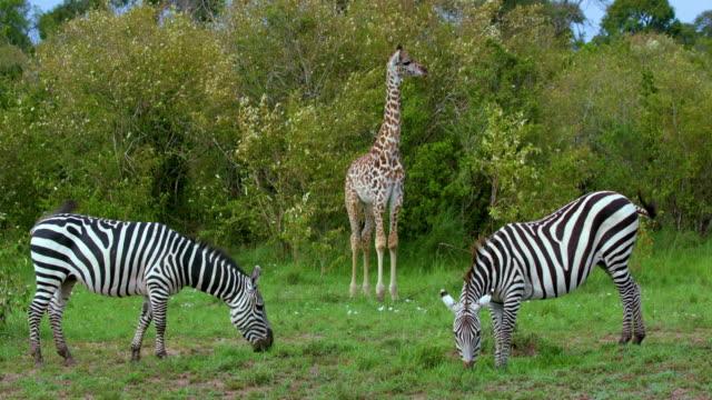 vídeos de stock, filmes e b-roll de young masai giraffe & burchell's zebra grazing maasai mara  kenya  africa - girafa
