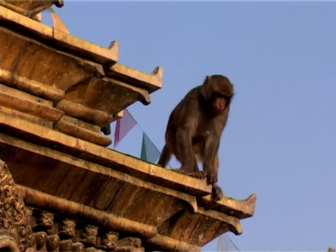 young monkey at swayambhunath - golden roof stock videos and b-roll footage