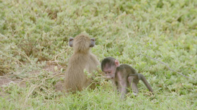 vídeos de stock e filmes b-roll de ms pan young monkey moving around family / kenya - grupo médio de animais