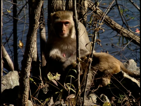 stockvideo's en b-roll-footage met a young monkey suckles on its mother. - plantdeel